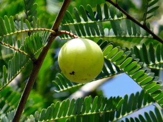 The Evidence-Based Health Benefits Of Amla (Indian Gooseberry)