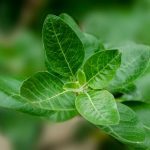 Ashwagandha: The Indian Adaptogen Herb