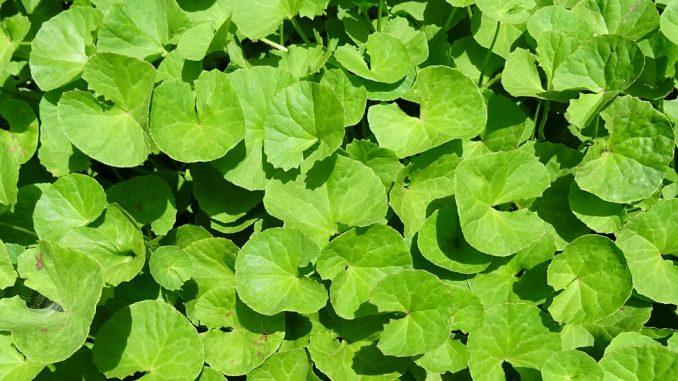 The Ayurvedic Herb Brahmi (Bacopa monnieri) For Treating Alzheimer's Disease