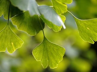 Ginkgo Biloba For Treating Mild Cognitive Impairment & Dementia