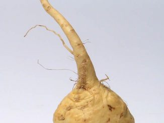 Maca Root For Improving Semen Quality & Supporting Sexual Function
