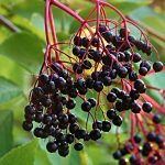 Elderberry Medicinal Herb Encyclopedia