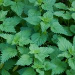 Nettle Leaf Micronutrient Superfoods