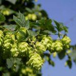 Hops Nervine Herb Guide