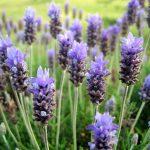 Lavender Nervine Herbs Guide