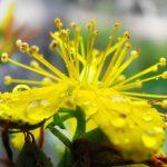 St. Johns Wort Nervine Herb