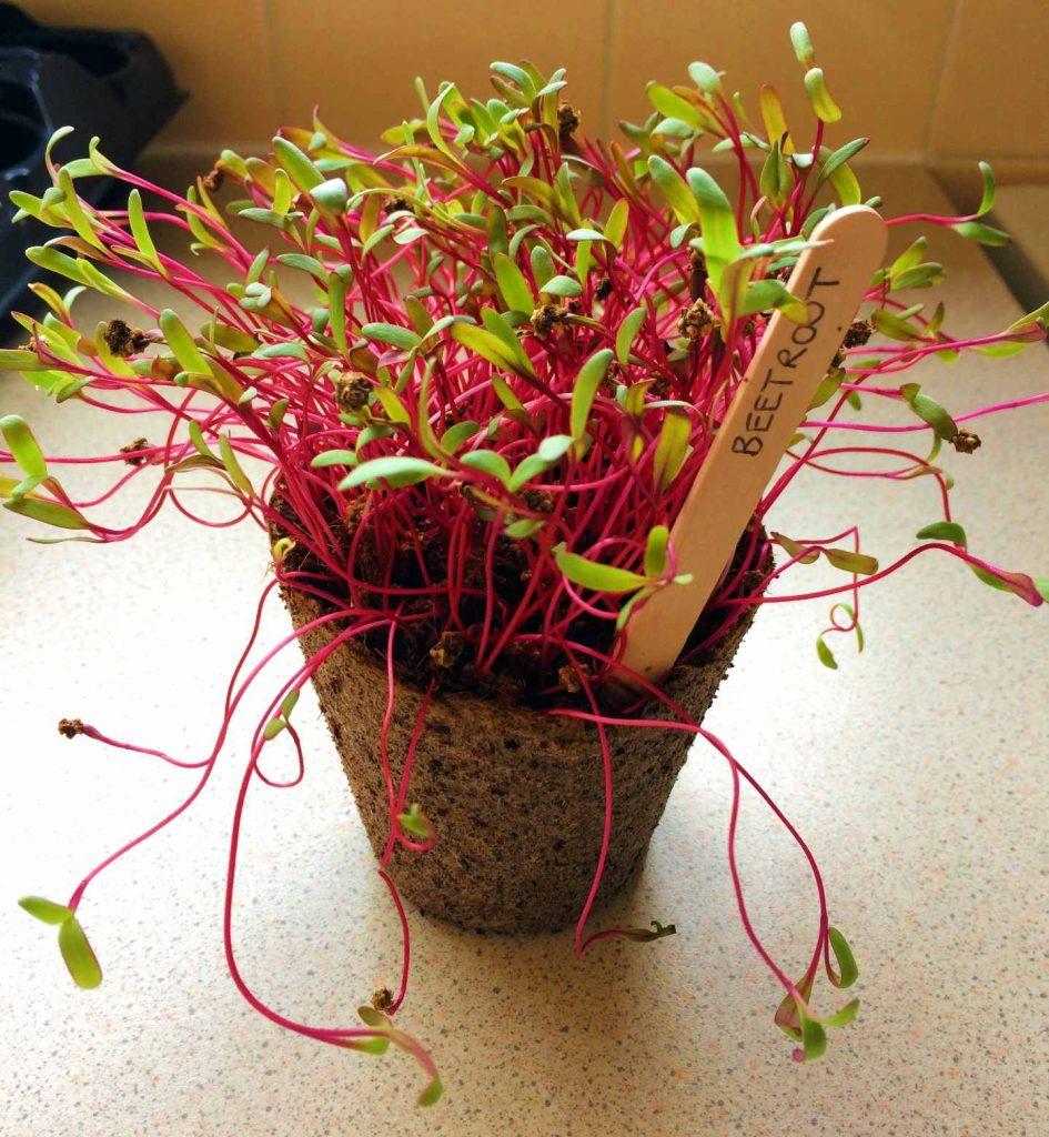 Beetroof Microgreens Grow Kit