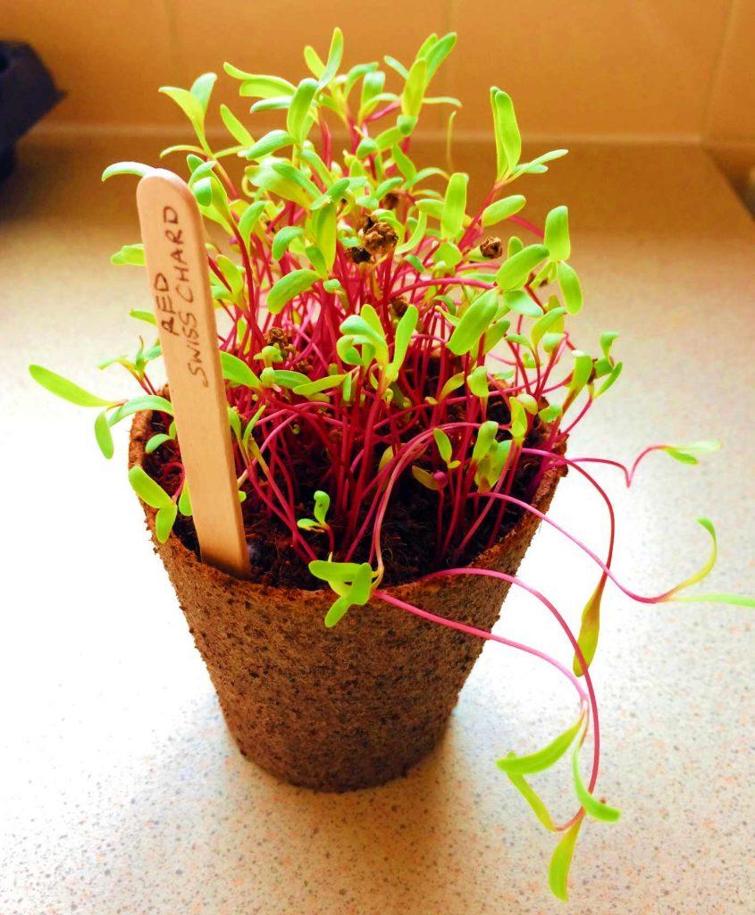 Red Swiss Chard Microgreens Grow Kit Verdant Republic