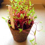 Verdant Republic - Purplicious Microgreens Superfood Grow Kit Log - Part 1
